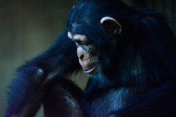 Schimpanse Kopenhagen Zoo
