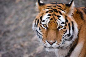 Tiger Kopenhagen Zoo