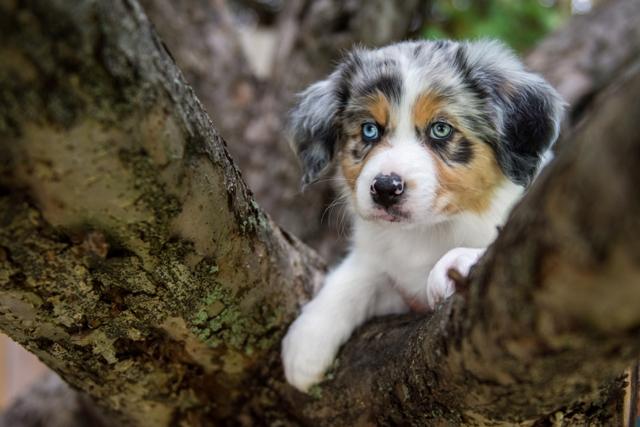 Chiots bergers australiens portéee 2019
