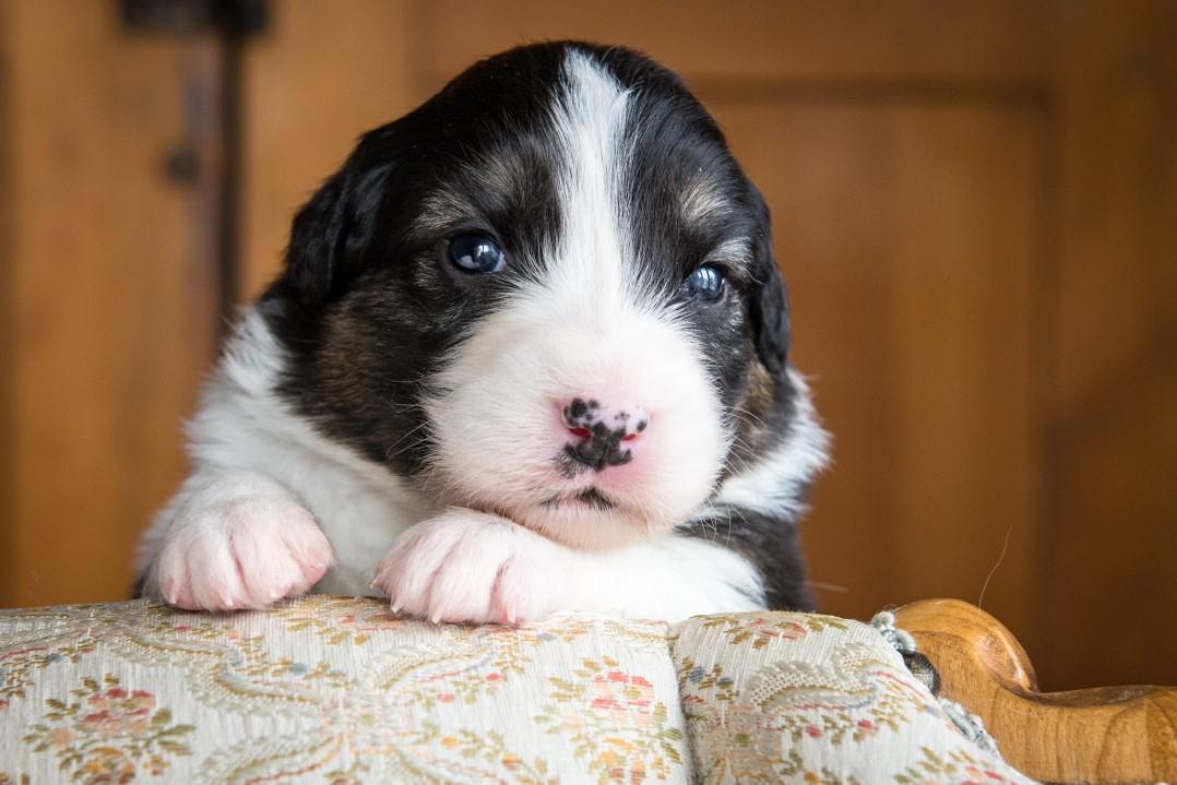 Rilye puppy 2021 3w