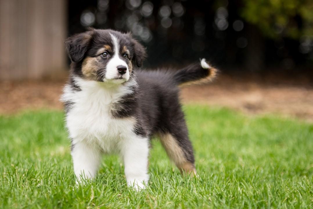 Rilye puppy 2021 8w