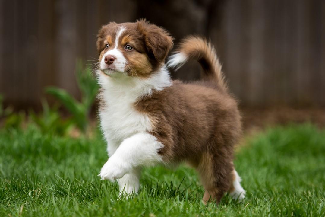 Stella puppy 2021 8w