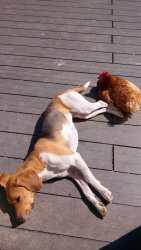 Izzie & la poule