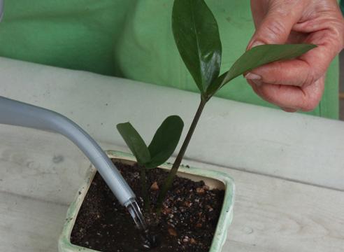 Bagaimana Melindungi Pohon Dolar Dari Hama Dan Penyakit Zamioculcas Daun Menguning Dan Kehilangan Warna Hijau Jenuh