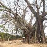 Chuyện lạ về cây da trên 350 tuổi