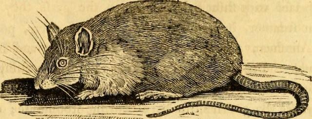 Chuột sinh sản nhanh chóng trong hệ thống cống rãnh của Hà Nội (ảnh: Public Domain)