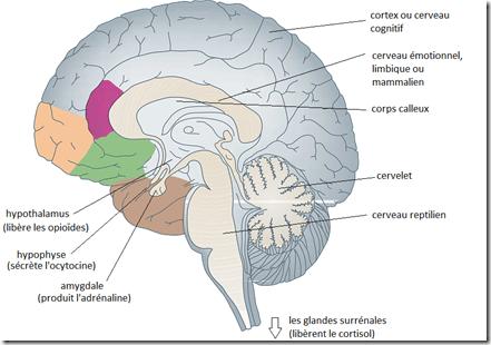 anatomie cerveau