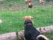 Wiglet chicken watcing