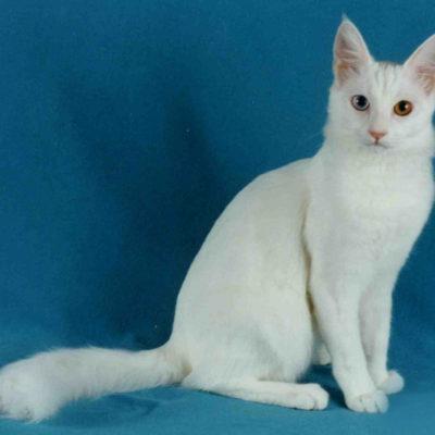 Дворовая кошка. Породы дворовых котов: течет ли в беспородных красавцах благородная кровь