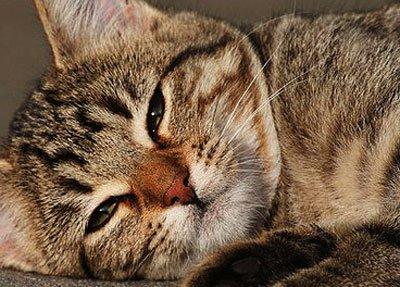 Симптомы и лечение обезвоживания у кота в домашних условиях. Обезвоживание у кошки что делать в домашних условиях: симптомы и лечение
