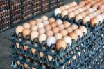 FG To Provide 1bn Eggs For School Feeding Programme