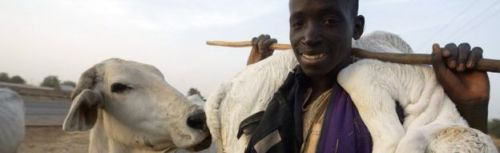 Fulani Herdsmen Disrupt Airport Activities With Cattle In Owerri