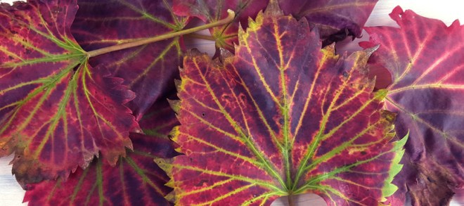 vine-leaves
