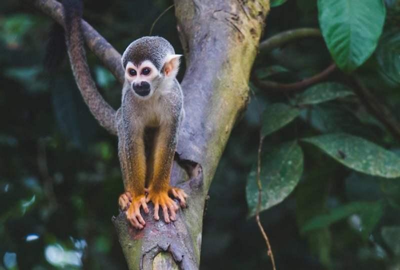 monyet kebun binatang