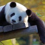 soal bahasa panda kunci jawaban cara menjawab utbk sbmptn 2020 mojok.co
