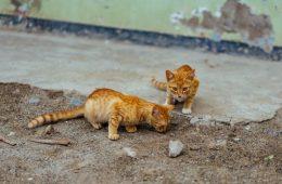 Misteri Dua Kucing Temperamen