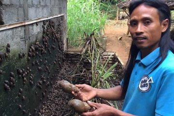 Kang Sunar memilih ternak bekicot untuk menghidupi keluarganya