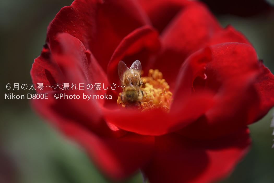 [6]美しき秋の薔薇