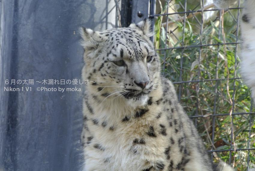 [6]Snow Leopard