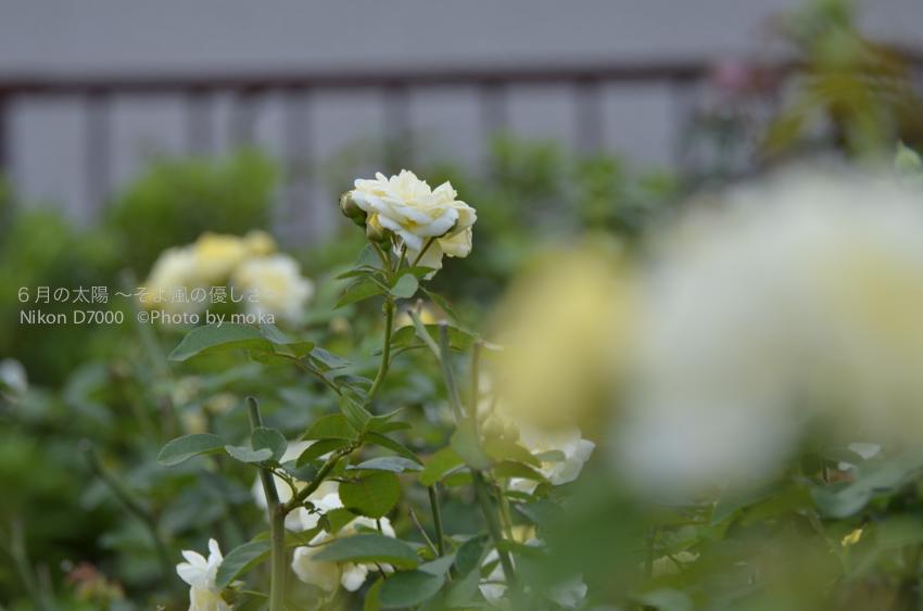[6]コスモスの花でも紅葉でもない。。秋バラを楽しむ ♫