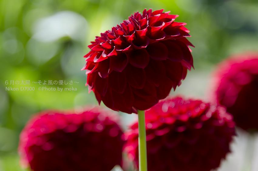 [6]大きな花輪と色鮮やかな花色が特徴のダリア