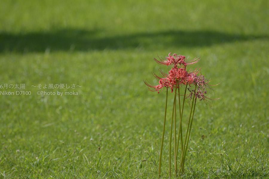 [6]妖艶な曼珠沙華の花に悩まされ続ける・・
