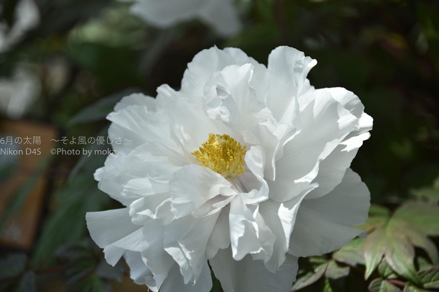 [6]大輪の花、牡丹に酔いしれる