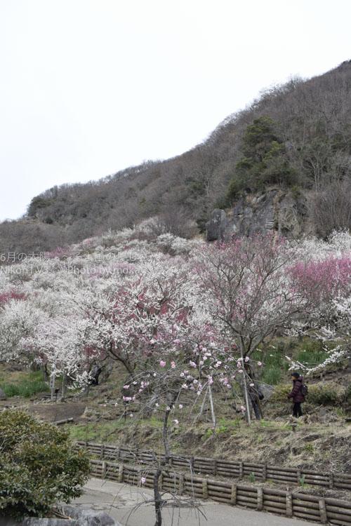 [6]満開の湯河原梅林はまるで「梅の絨毯」のよう
