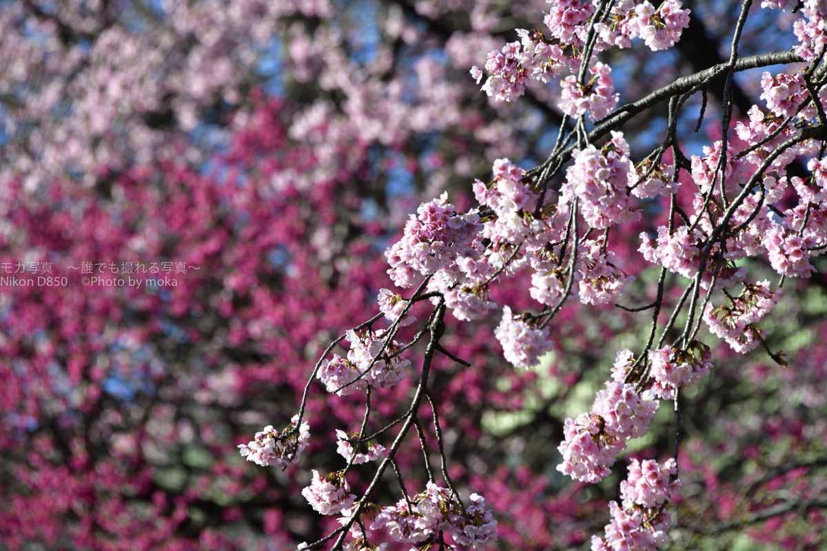 [6]気温のジェットコースターの終着点は満開の桜