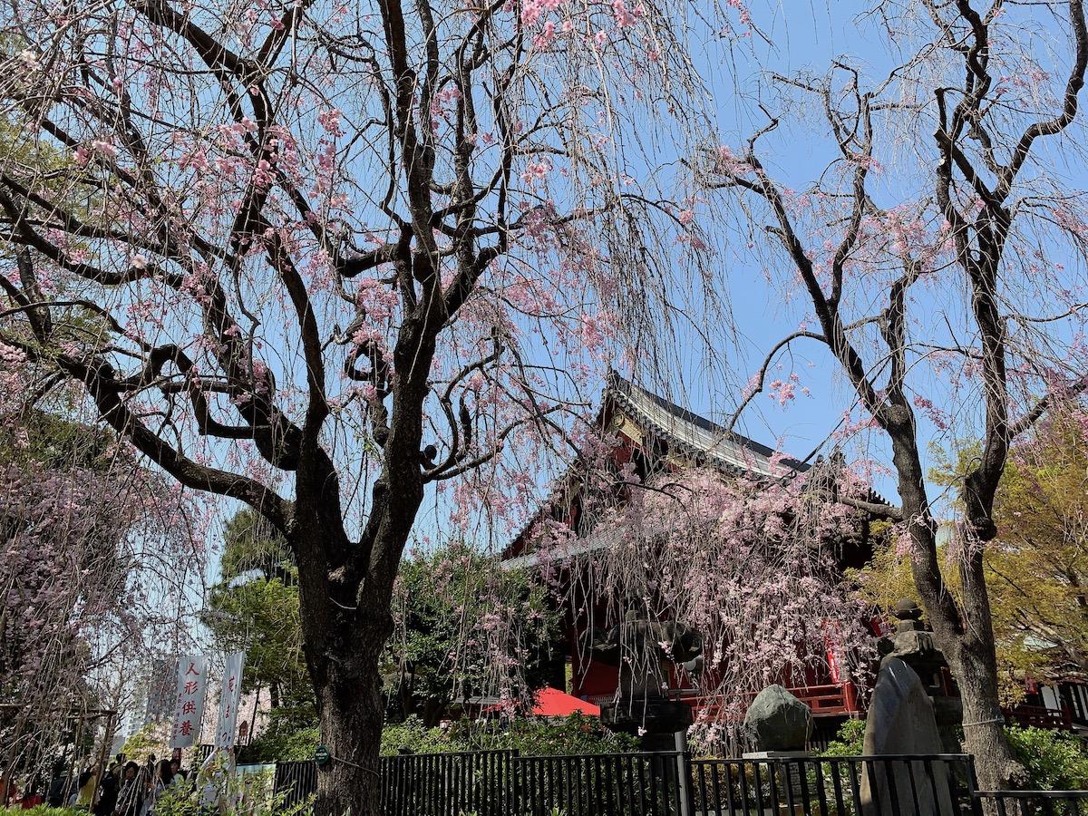[6]遅咲きの桜はこれからが見頃!?
