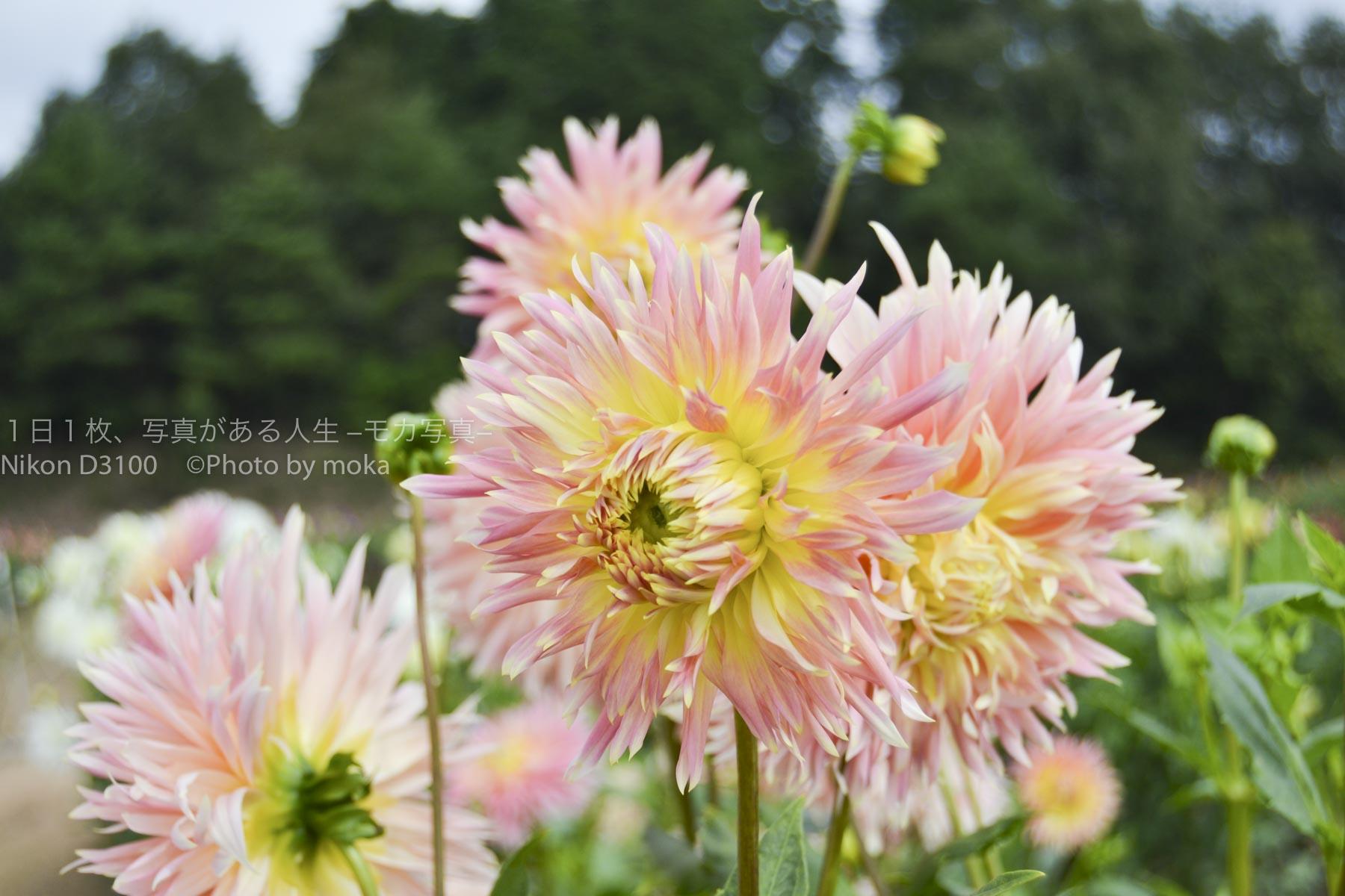 【広島観光におすすめ】世羅高原のダリアとガーデンマム祭り