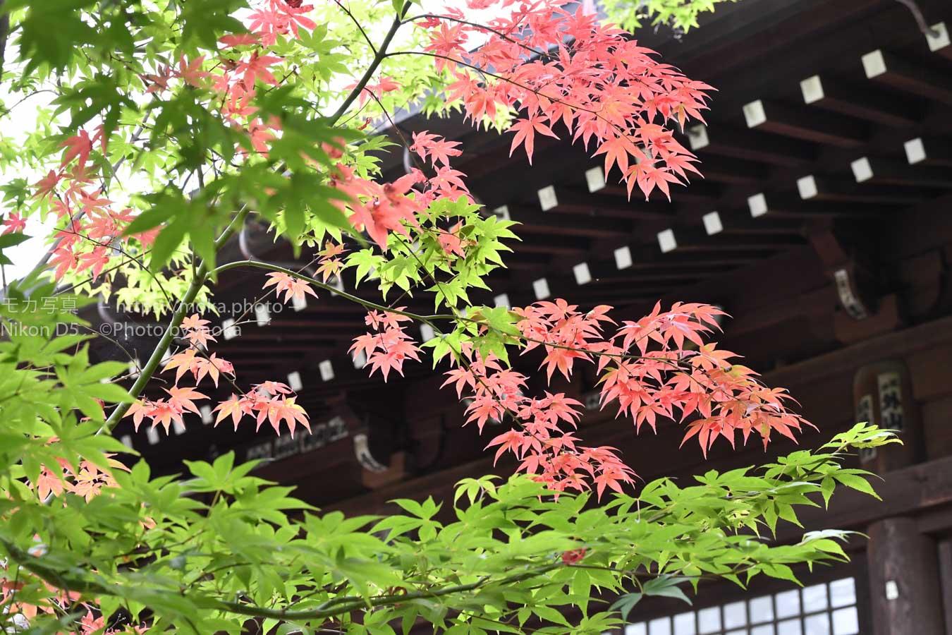 【スナップ撮影】初夏だけど紅葉。新緑とのコントラストを楽しむ