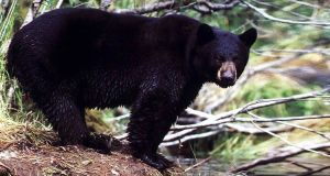 Things That Bite - Black Bear