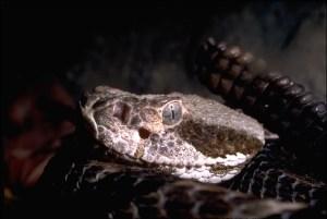 Things That Bite - Western Rattlesnake