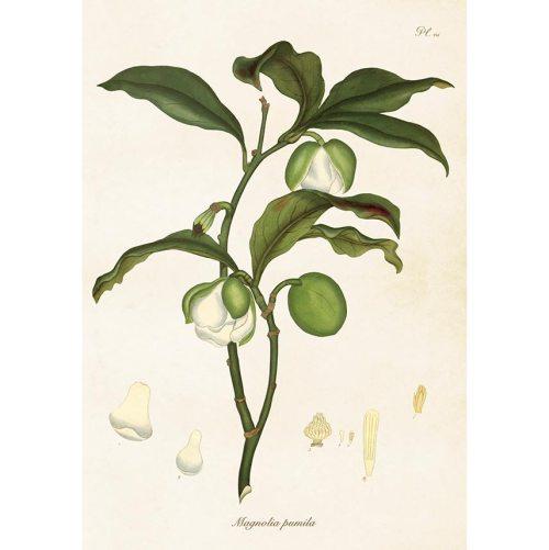 Magnolia, vintage-tyylinen juliste 33x50