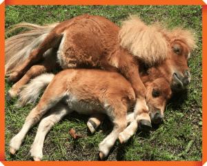 そらまめ ミニチュアホース 馬