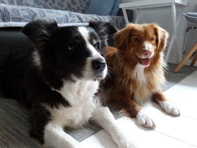 psy w salonie