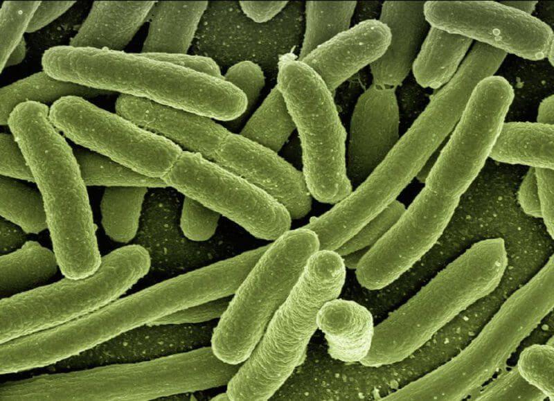 bacteria coli