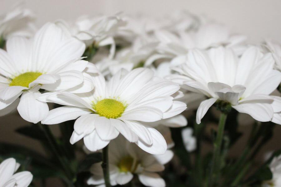 zlocien dalmatynski chrysanthemum