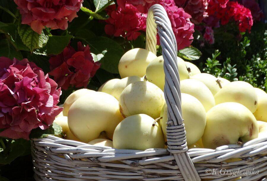 stara odmiana jablek pepierowki