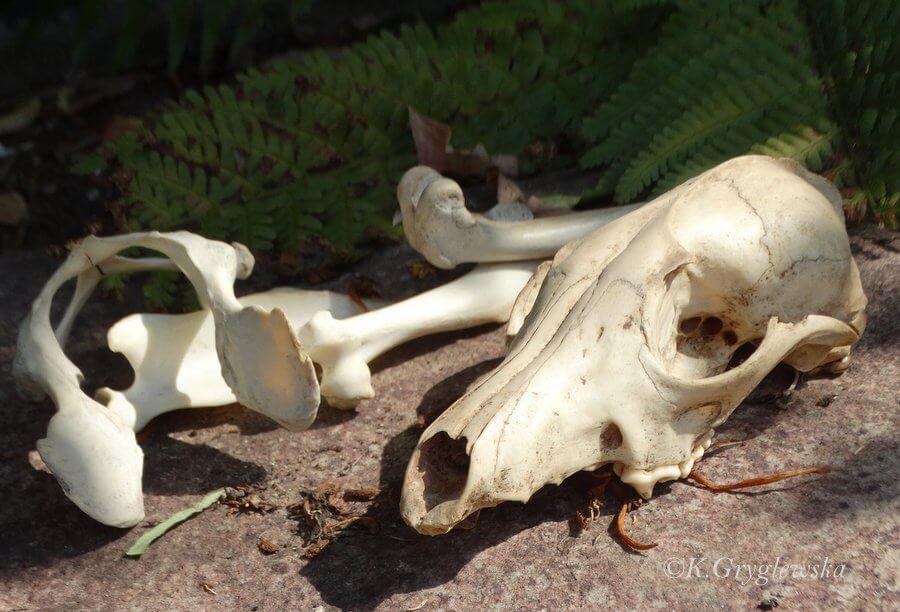 szkielet psa