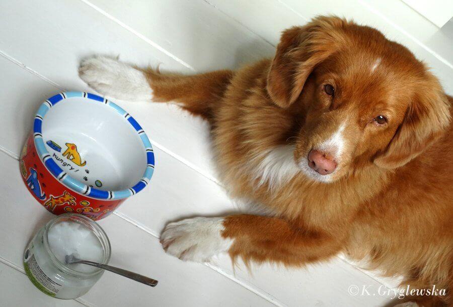 olej kokosowy dla psa, żywienie psa