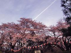 沼田公園のサクラ