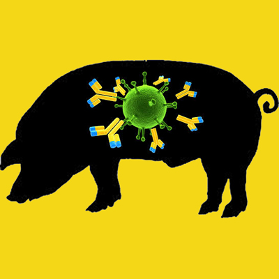 Rabbit anti porcine fibrinogen IgG fraction, biotin labeled