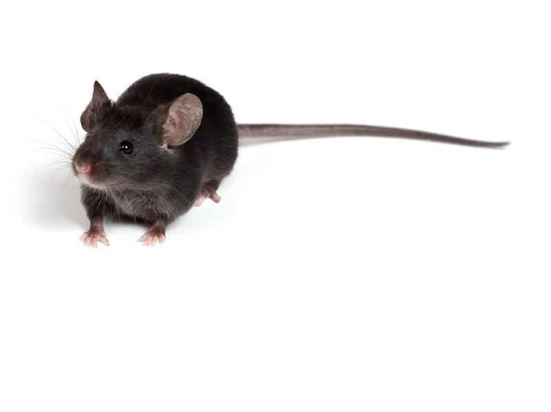 Prekallikrein Knockout Mice - Molecular Innovations. Inc.