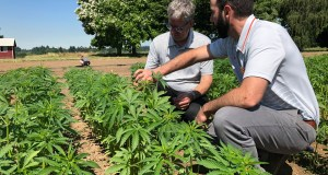 AP Jay Noller, director and lead researcher for Oregon State University's newly formed Global Hemp Innovation Center, left, inspects young hemp plants with Lloyd Nackley, a plant ecologist with the Oregon State University Extension Service, at one of the university's hemp research stations in Aurora, Ore. AP Photo by Gillian Flaccus