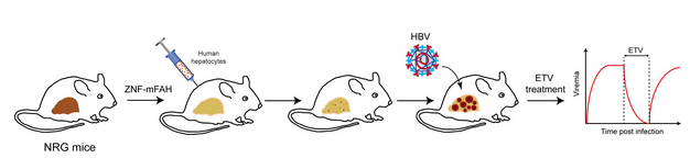 Bridging The Gap A Humanized Mouse Model For Hepatitis B