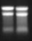 Standard PCR Protocol with Agarose Gel Purification