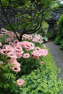 PINK POPPIES IN THE GARDEN AT GLENAE