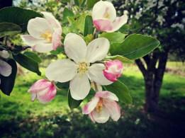 Apple Buds - 2014